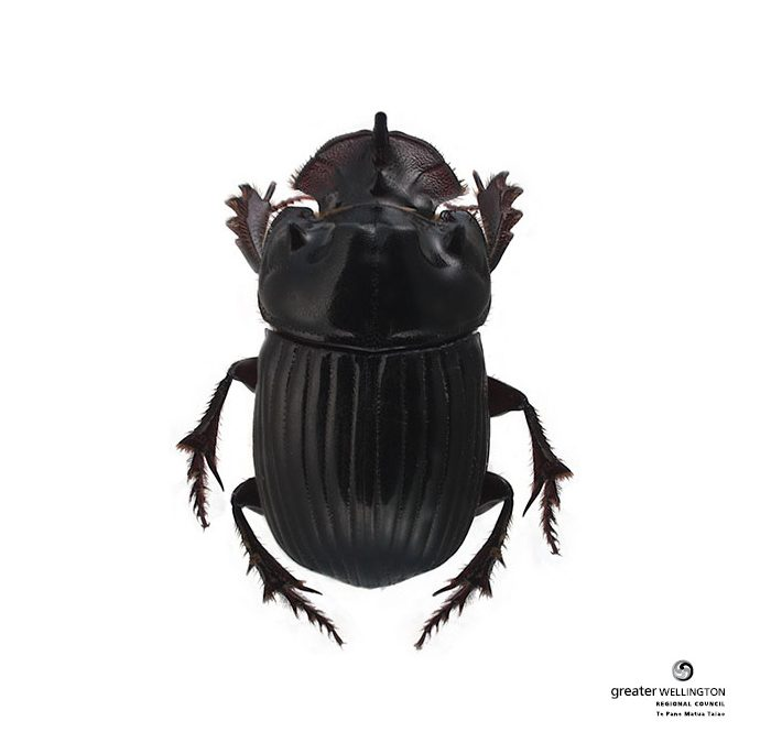 Dung beetles to be rolled out nationwide