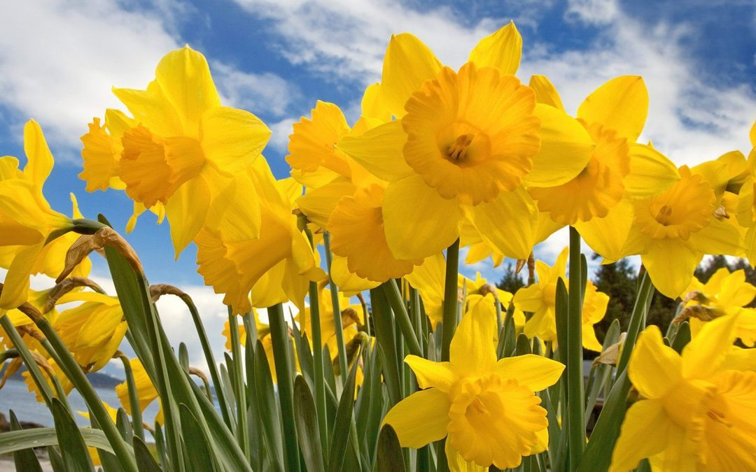 Carterton Daffodil Festival gets green light